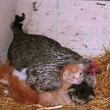 Hens adopt animals 5979b4e296501__700.jpg
