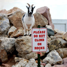 Funny animals breaking rules pet anarchists 7 59a3c069387b9__605.jpg