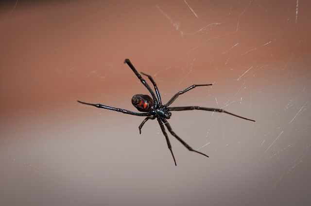 Black widow spider pixabay.jpg