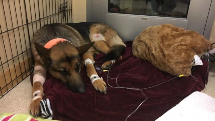 Dog hero almost loses his life by saving his owner from criminals 5a9368d750ad1__700.jpg