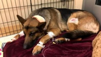 Dog hero almost loses his life by saving his owner from criminals 5a93fa09bc95d__700.jpg