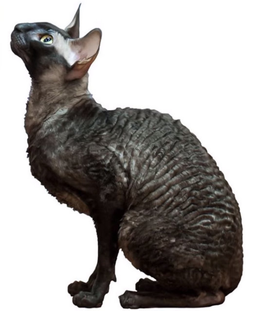 Cornish rex youtube.jpg
