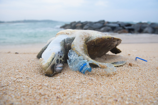 Dead turtle among plastic garbage from ocean on the beach