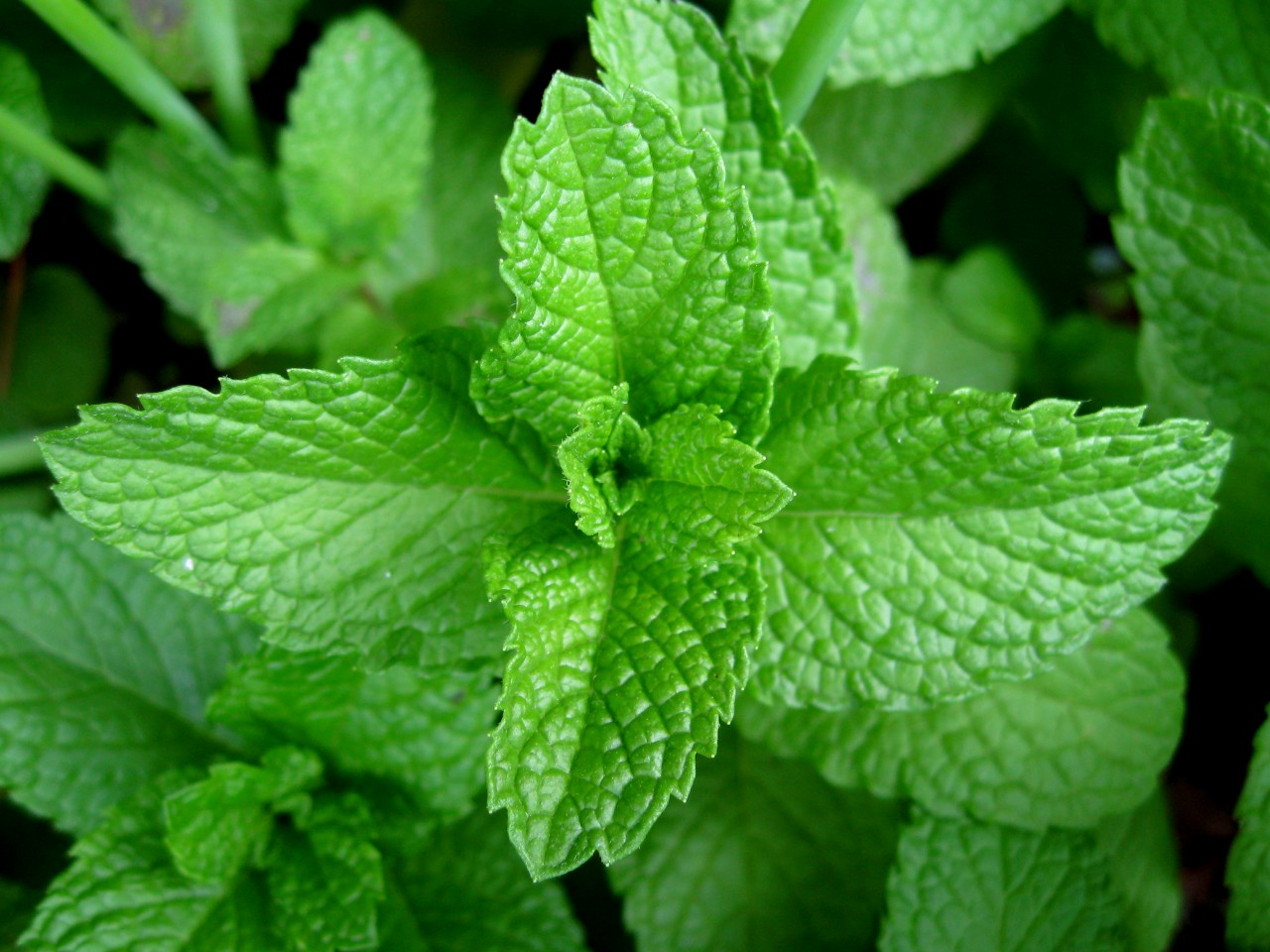 Mint leaves 2007