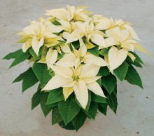 White_poinsettia.jpg