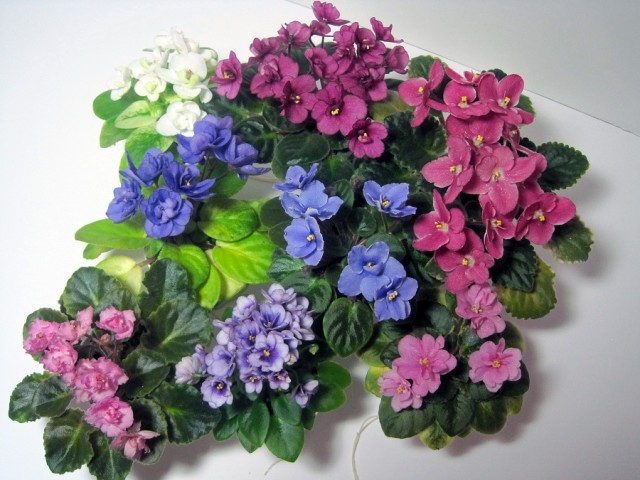 Miniature african violets we used to display our teacup rings.jpg