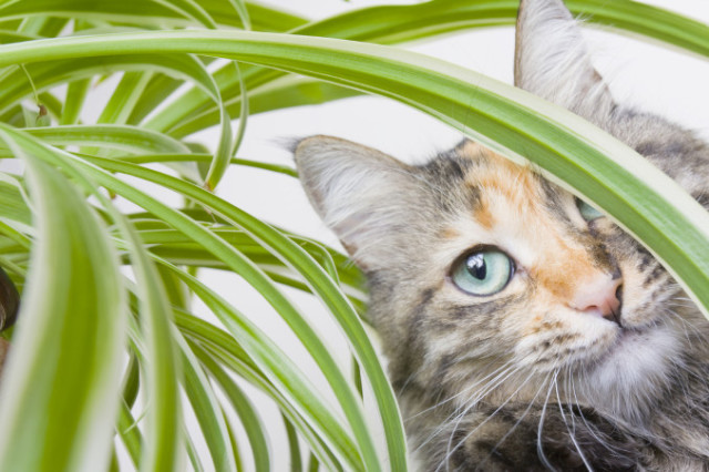 Captivating non toxic house plants for cats on smooth green white spider plants 677x451.jpg