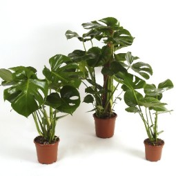Grp monstera.jpg