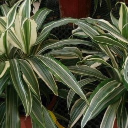 Striped dracaena warneckei.jpg.638x0_q80_crop smart.jpg