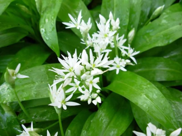 Wild garlic flowers.jpg