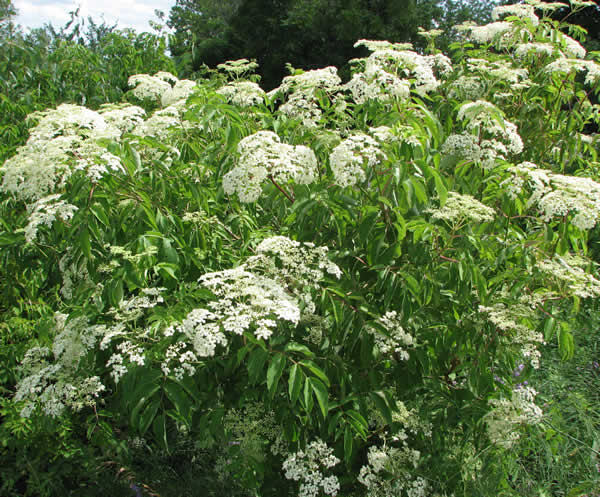 Wpid sambucus canadensis elderberry bush shrub tree.jpg