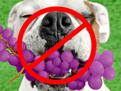 Can dogs eat grapes no.jpg