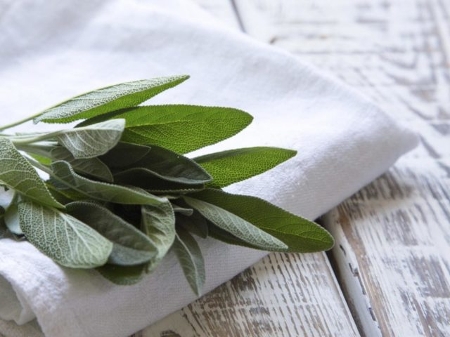 Bunch of fresh sage on an old wooden table.