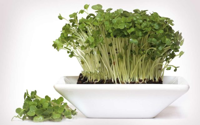 Garden cress packed with power.jpg