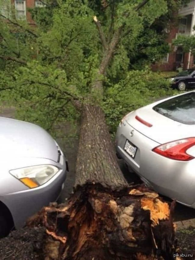 Fallen tree between two parked cars.jpg