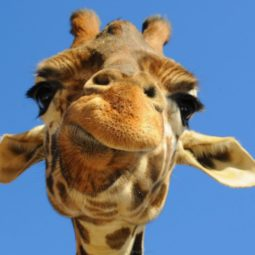 Giraffe closeup face funny picture.jpg