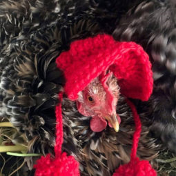 Chicken with red knit bonnet.jpg