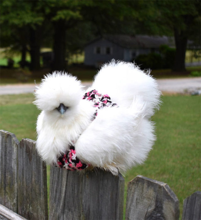 Fluffy chicken in pink and black sweater.jpg