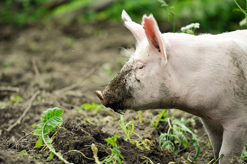 Young pig digging soil to eat grass roots
