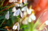 51979800 - fresh snowdrop on green background. natural composition
