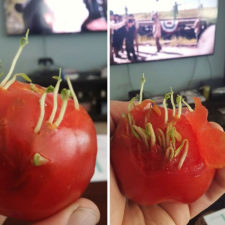 Weird vegetables fruits sprouting 100 5982cd5ae3077__700.jpg