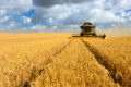 Combine Harvester in Barley Field during Harvest