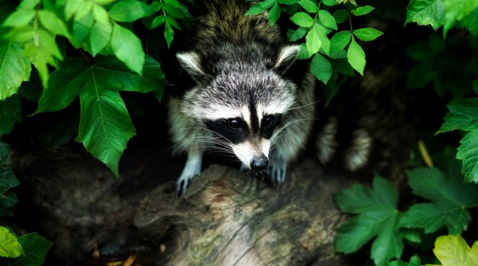 Raccoon 1885137_1920.jpg