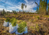 Spruce Forest Planting