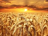 Wheat field 640960_1280.jpg