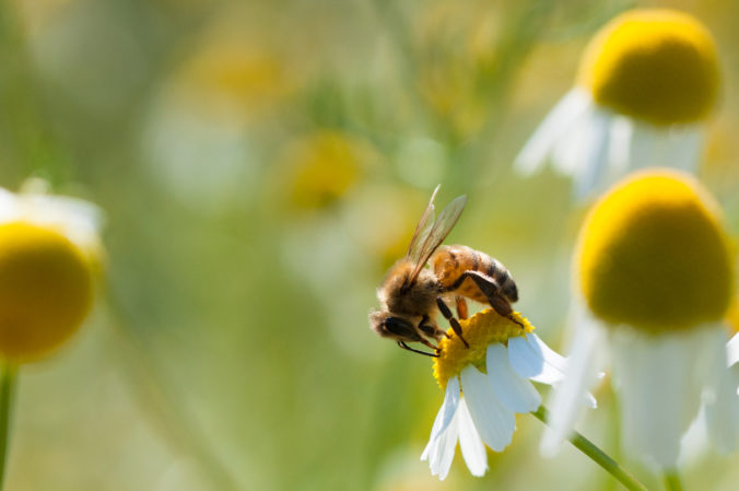 Bee collects pollen on Chamomile flowers
