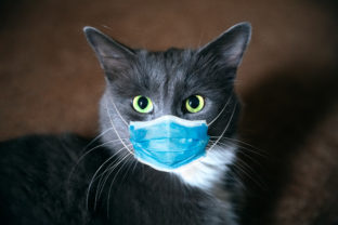 Protective antiviral mask on the cats face. Protective face mask for animals, coronavirus and hantavirus protection.