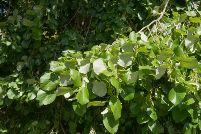 Summer Foliage of a Weeping Silver Lime Tree (Tilia tomentosa 'Petiolaris') in a Park in Rural England, UK