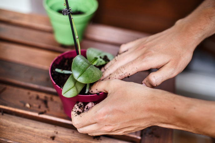 Hands preparing a pot to plant an orchid