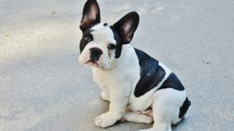 French bulldog 277255_1920.jpg